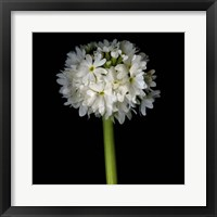 Framed Ball Primula
