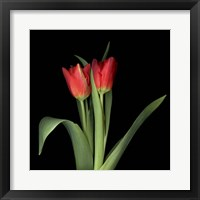 Framed Duet - Tulips