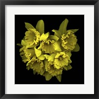 Framed Explosion In Yellow - Daffodils