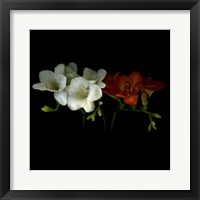 Framed Freesia 1