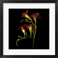 Framed Freesia 2