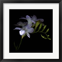Framed Freesia 3