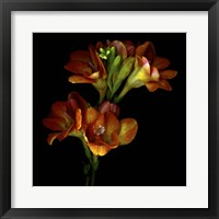 Framed Freesia 4