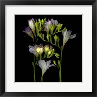 Framed Freesia 5