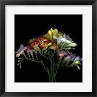 Framed Freesia 7