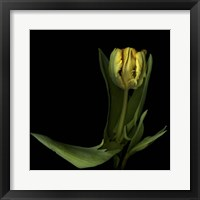 Framed Golden Parrot Tulip