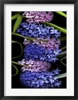 Framed Hyacinth 2