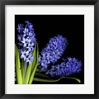 Framed Hyacinth 3