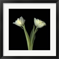 Framed Off-White Tulips