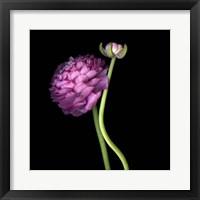 Framed Pink Ranunculus 1