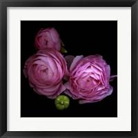 Framed Ranunculus 2