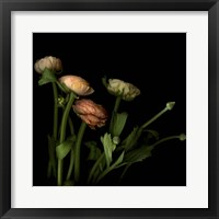 Framed Ranunculus 4