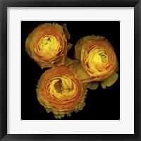 Framed Ranunculus 8