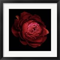 Framed Ranunculus 9