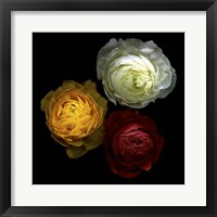 Framed Ranunculus 10