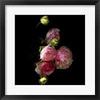 Framed Ranunculus 11
