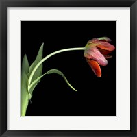 Framed Red Tulip 3