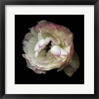 Framed Singled Out - Ranunculus