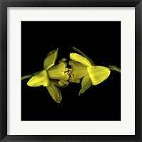 Framed Still Kissing - Daffodils