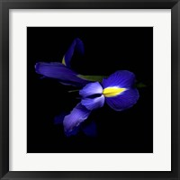Framed Sensuality Of The Blue Iris