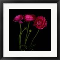 Framed Trois Belles - Ranunculus