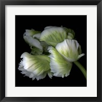 Framed White And Green Parrot Tulip