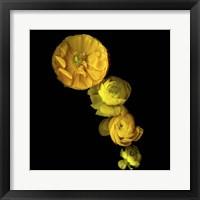Framed Yellow Cascade - Ranunculus