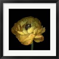 Framed Yellow Ranunculus
