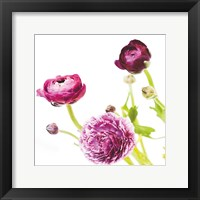 Spring Ranunculus II Framed Print