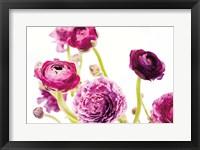 Spring Ranunculus IV Framed Print
