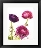 Spring Ranunculus V Framed Print