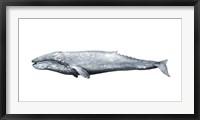 Whale Portrait IV Framed Print