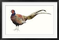 Watercolor Pheasant II Framed Print
