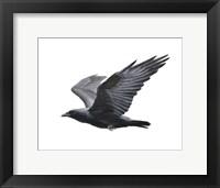 Framed Raven