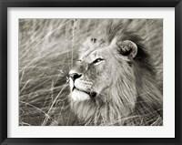 Framed African Lion, Masai Mara, Kenya 1