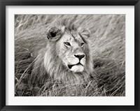 Framed African Lion, Masai Mara, Kenya 2