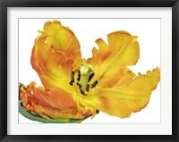 Parrot Tulip Close-Up Framed Print