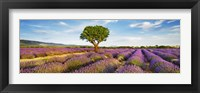 Framed Lavender Field And Almond Tree, Provence, France