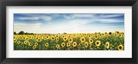 Framed Sunflower Field, Plateau Valensole, Provence, France