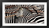 Framed Herd of Zebras
