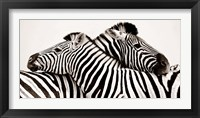 Framed Zebras in Love