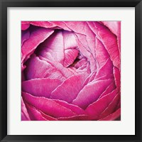 Ranunculus Abstract III Color Framed Print