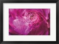 Ranunculus Abstract V Color Framed Print