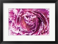 Ranunculus Abstract VI Color Framed Print