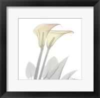 Sunday Morning Calla Lily Framed Print