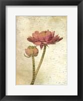 Framed Ranunculus Bloom 1