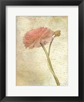 Ranunculus Bloom 2 Framed Print