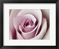 Tender Rose Framed Print