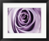 Lavender Bloom Framed Print