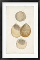 Antiquarian Shell Study II Framed Print